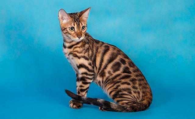 Бенгал пятнистая кошка