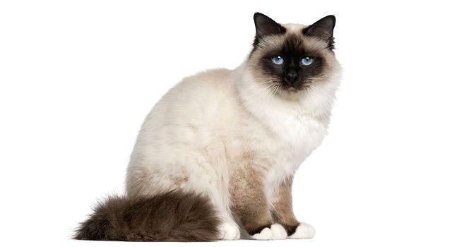 Бирманская кошка, похожая на сиамскую