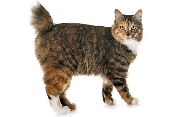Кошка с коротким хвостом курильский бобтейл
