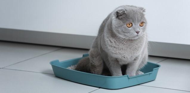 Болезни мочевыводящих путей у шотландских вислоухих кошек