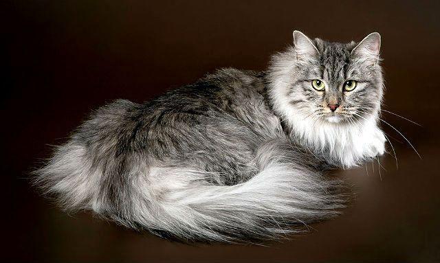Большая сибирская кошка