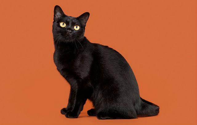 Бомбейская кошка - главное фото