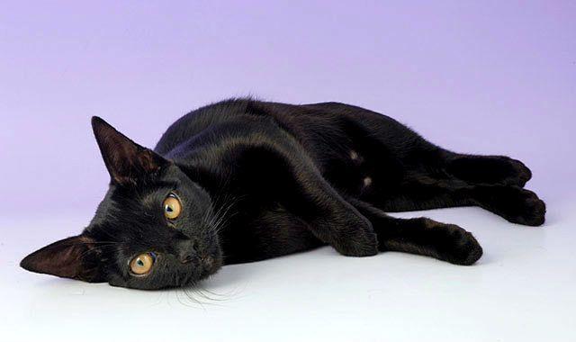 Бомбейская кошка лежит