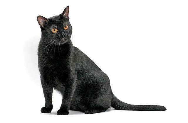 Бомбейский котик
