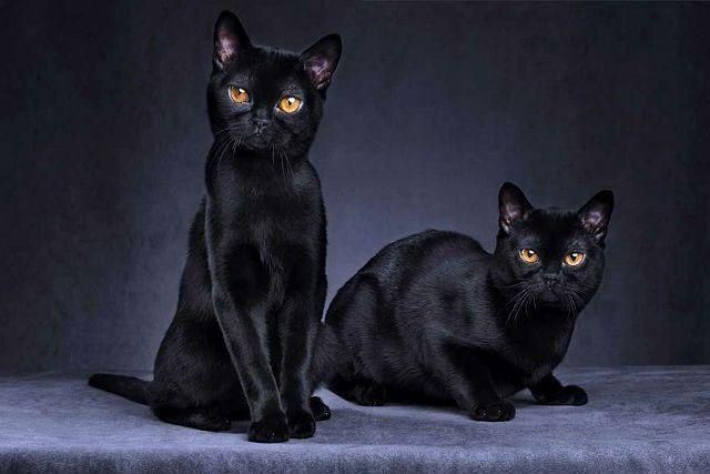 Бомбейская кошка - экстерьер породы