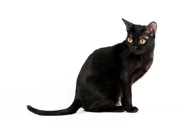 Бомбейская кошка сидит боком