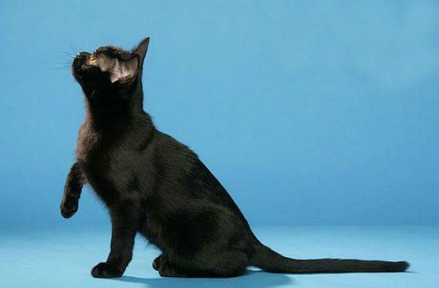 Бомбейская кошка на голубом фоне