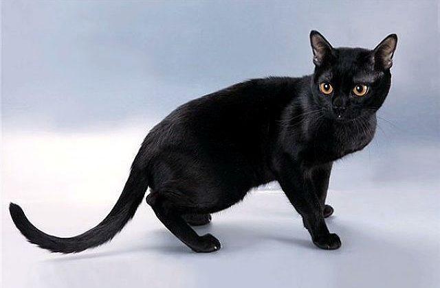 Бомбейская кошка - вид сбоку
