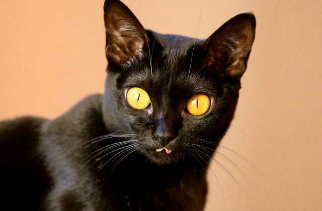 Бомбейская кошка - глаза
