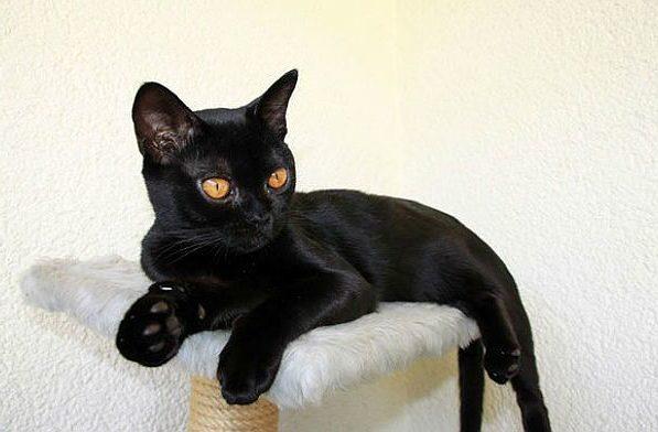Молодая Бомбейская кошка