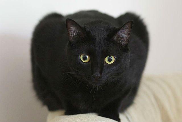 Бомбейская кошка на спинке дивана