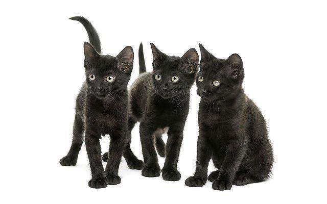 Бомбейская порода - котята