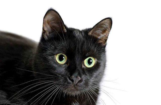 Бомбейская кошка - голова