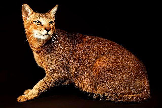 Чаузи - большая кошка