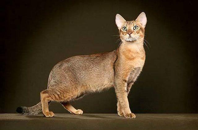Чаузи - крупная кошка