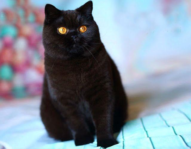 Британский кот черного окраса