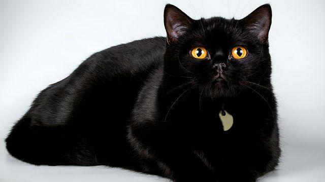 Шерсть черного британского кота