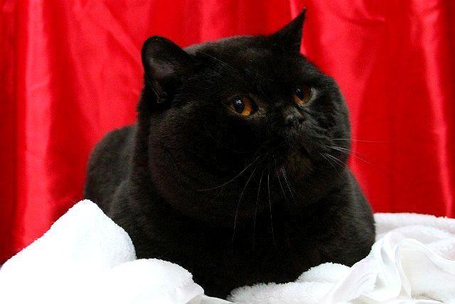 Черный британский кот - голова