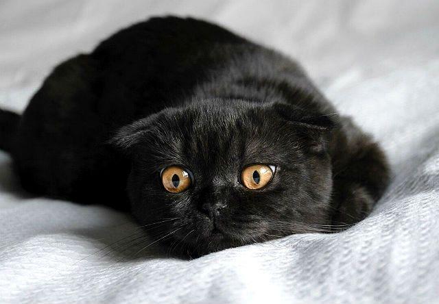 Игривый Черный вислоухий кот