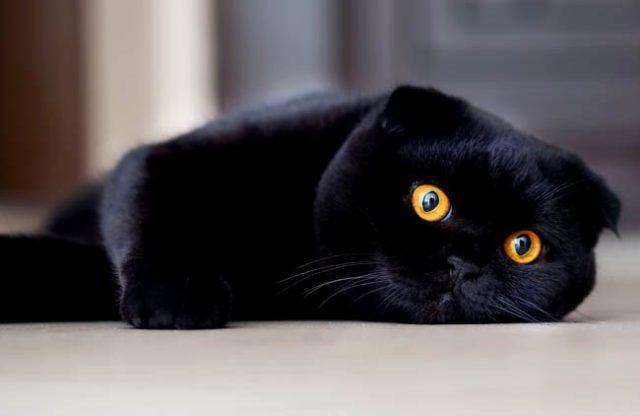 Черный вислоухий кот с янтарными глазами
