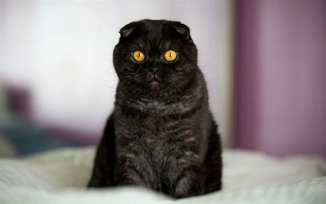 Пегий черный вислоухий кот
