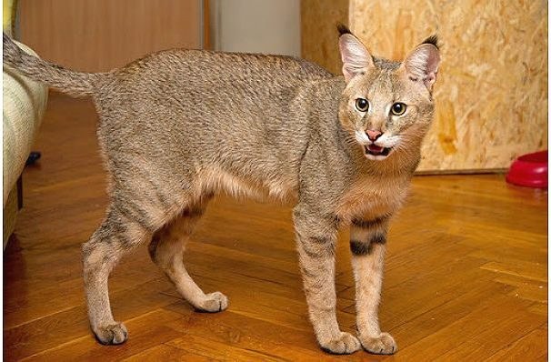 Чаузи - кошка с кисточками на ушах