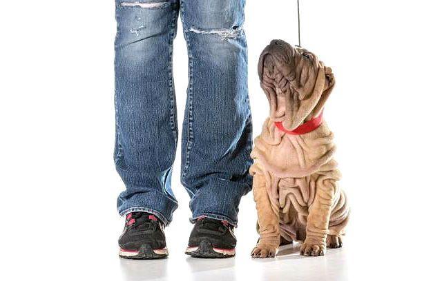 Дрессировка щенка шарпея - приучение к хозяину