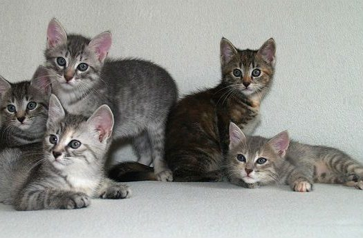 Европейская короткошерстная - котята