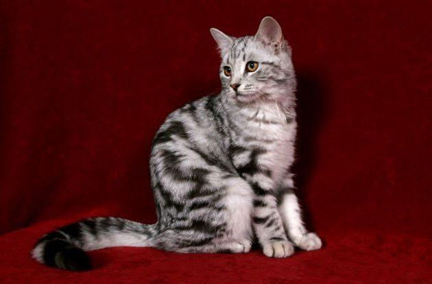 Европейская короткошерстная кошка - внешний вид