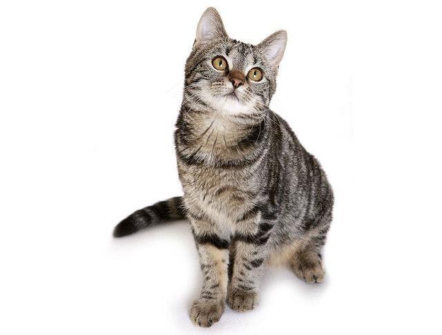 Европейская короткошерстная - котенок