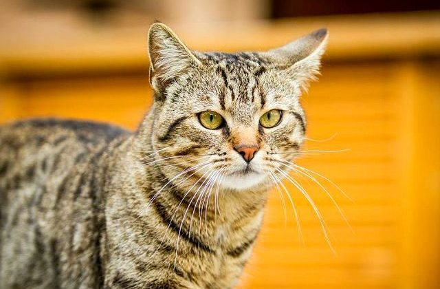 Европейская короткошерстная кошка - голова