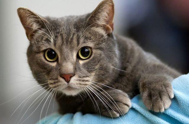 Европейская короткошерстная кошка - морда