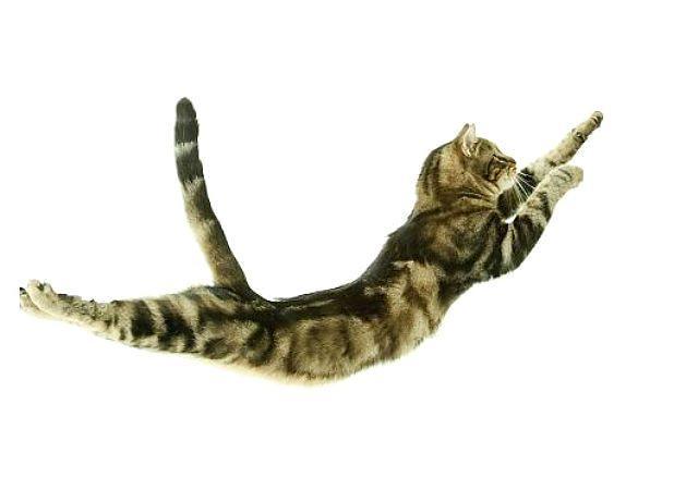 Европейская короткошерстная кошка - в прыжке