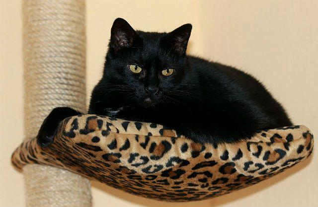 Европейская короткошерстная кошка черного окраса