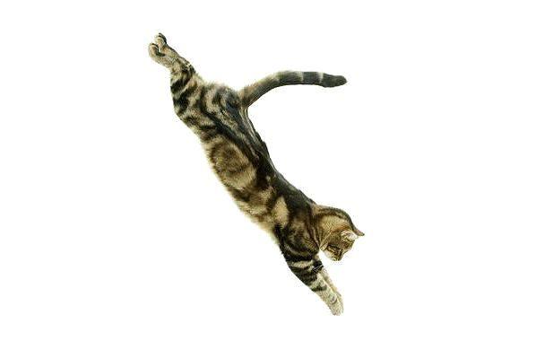Европейская короткошерстная кошка в полете