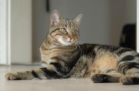 Европейская короткошерстная кошка лежит