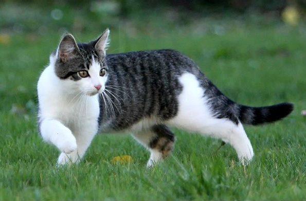 Европейская короткошерстная кошка на прогулке