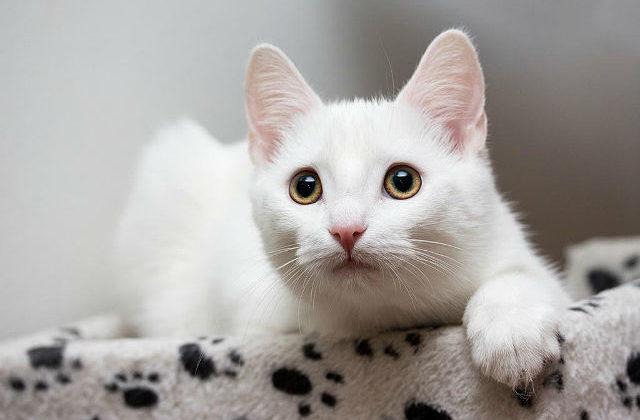 Европейская короткошерстная кошка белая