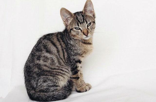 Европейская короткошерстная кошка полосатая