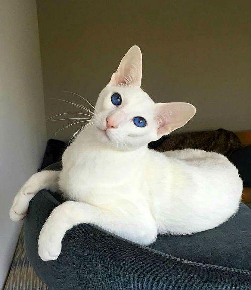 Кошка форинвайт