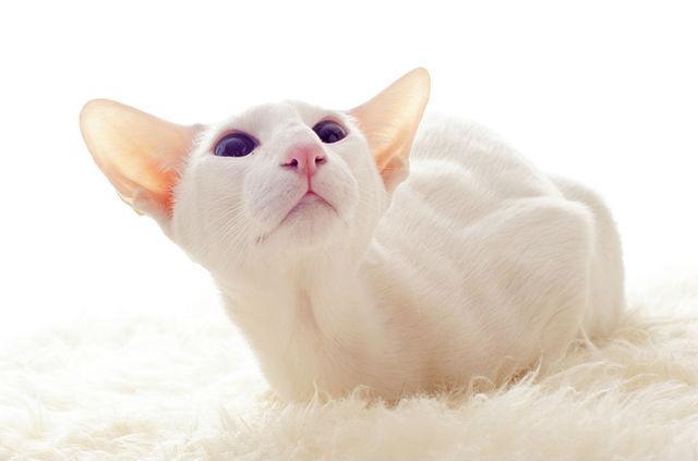 Кошка форинвайт, похожая на сиамскую