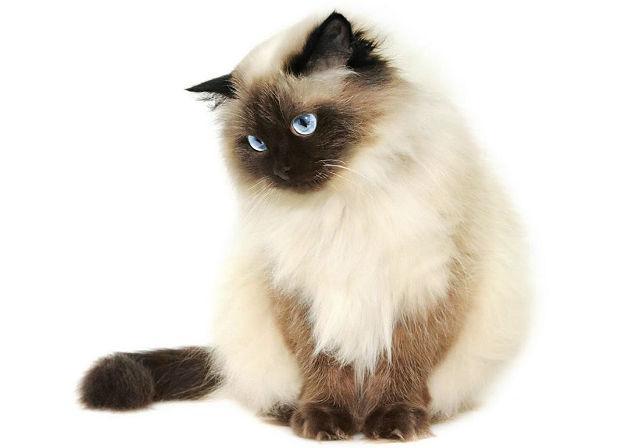 Гималайская кошка, похожая на сиамскую