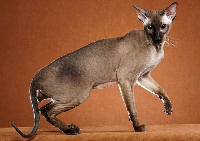 Гипоалергенные кошки - главное фото