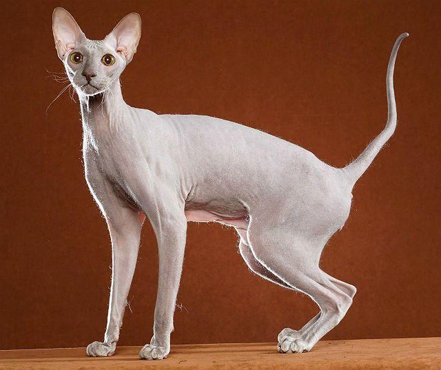 Гипоалергенная кошка - петерболд