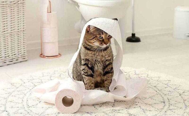 Идиопатический цистит у кошки