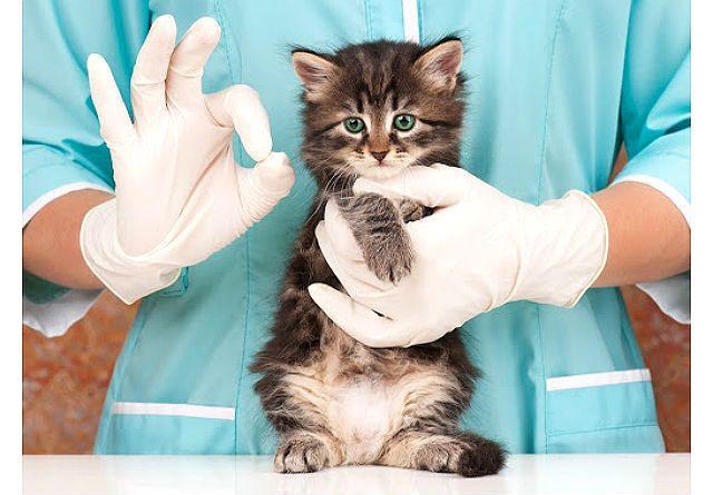 Идиопатический цистит у котенка
