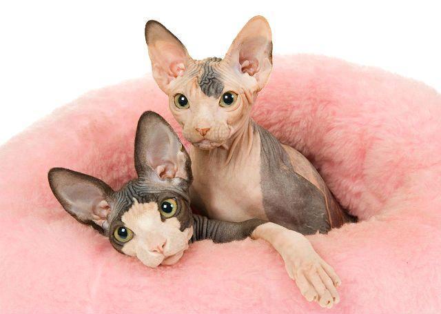 Имена для кошек сфинкс