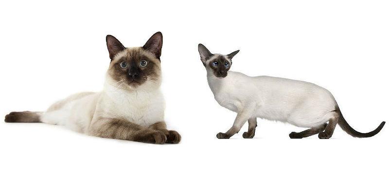 Как различить тайских и сиамских кошек