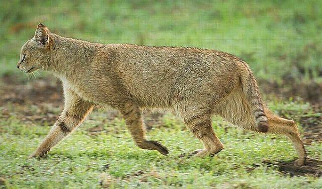 Камышовый кот - экстерьер