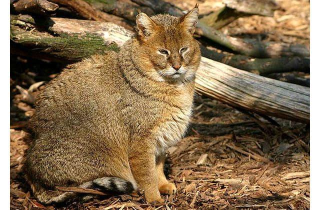 Камышовый кот сидит
